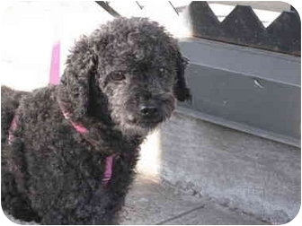 Poodle (Miniature) Dog for adoption in Long Beach, New York - Bella