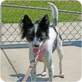 Papillon Mix Dog for adoption in San Clemente, California - HOLLY