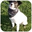 Photo 1 - Border Collie/Jack Russell Terrier Mix Puppy for adoption in Auburn, California - Elaine