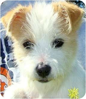 Jack Russell Terrier Mix Puppy for adoption in Hendersonville, Tennessee - Gorgeous GEORGE