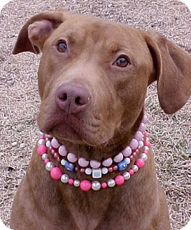 Labrador Retriever/American Pit Bull Terrier Mix Dog for adoption in Huntington, New York - Olivia