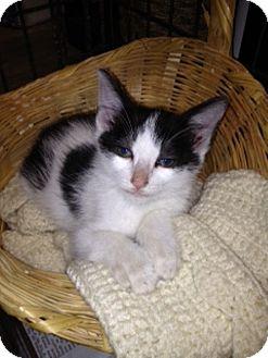 American Shorthair Kitten for adoption in Salem, New Hampshire - Velvet