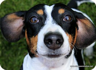 Dachshund Dog for adoption in Spokane, Washington - Stanley-piebald