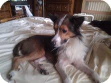 Sheltie, Shetland Sheepdog Dog for adoption in Franklinville, New Jersey - Champ
