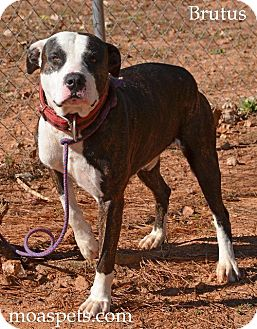 Mastiff/American Pit Bull Terrier Mix Dog for adoption in Danielsville, Georgia - Chopper