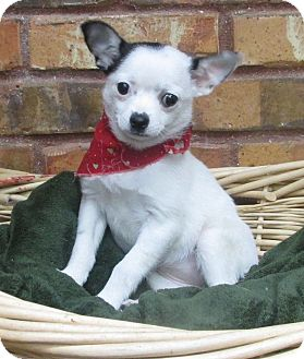 Chihuahua/Rat Terrier Mix Puppy for adoption in Benbrook, Texas - Trinity