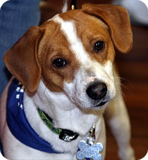 Beagle Mix Dog for adoption in Wayne, New Jersey - Tanner