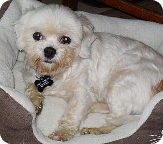 Maltese/Shih Tzu Mix Dog for adoption in Cotati, California - Lucky Penny