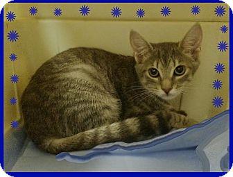 Domestic Shorthair Kitten for adoption in Trevose, Pennsylvania - Scottie T