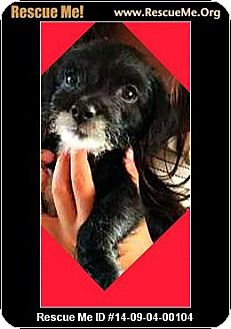 Poodle (Toy or Tea Cup)/Border Terrier Mix Puppy for adoption in Murrieta, California - Benson
