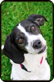 Hound (Unknown Type) Mix Puppy for adoption in Elyria, Ohio - Snoopy