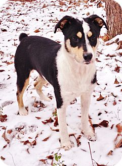 Australian Shepherd/Border Collie Mix Puppy for adoption in Snohomish, Washington - Ponce, perfect Aussie pup!