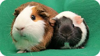 Guinea Pig for adoption in Lewisville, Texas - Lyndsay and Jen