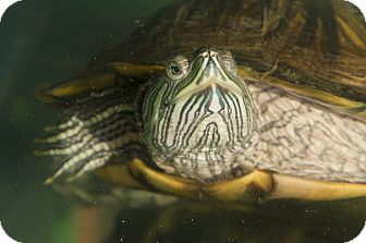 Turtle - Water for adoption in Reading, Pennsylvania - Knick Knack