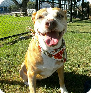 Pit Bull Terrier Mix Dog for adoption in El Cajon, California - Opal