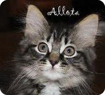 Domestic Longhair Kitten for adoption in Walworth, New York - Allota