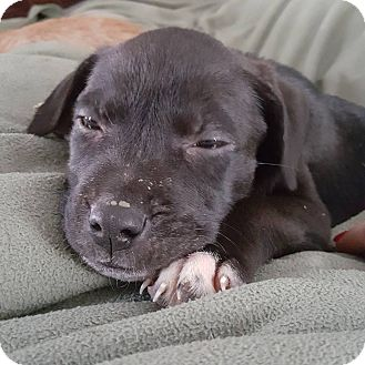 Shepherd (Unknown Type) Mix Puppy for adoption in Fairview Heights, Illinois - Tac