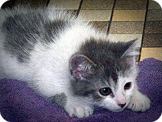 Domestic Mediumhair Kitten for adoption in Mt. Prospect, Illinois - Spirit