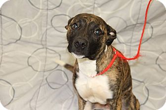 Pit Bull Terrier Mix Dog for adoption in Greensboro, North Carolina - Bo