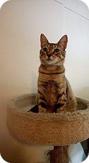 American Shorthair Cat for adoption in San Diego, California - Zuky