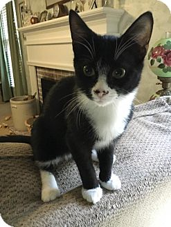 Domestic Shorthair Kitten for adoption in Burlington, North Carolina - Little Ricky