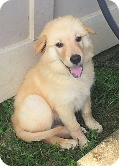 Retriever (Unknown Type) Mix Puppy for adoption in New Canaan, Connecticut - Mark