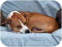 Pit Bull Terrier Mix Dog for adoption in Warren, New Jersey - Indio