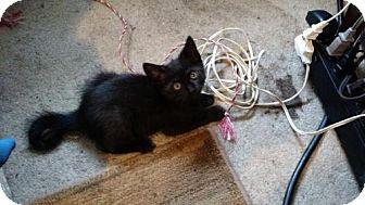 Domestic Shorthair Kitten for adoption in Trenton, New Jersey - Lira