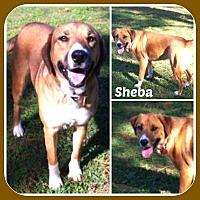 Adopt A Pet :: SHEBA - Malvern, AR