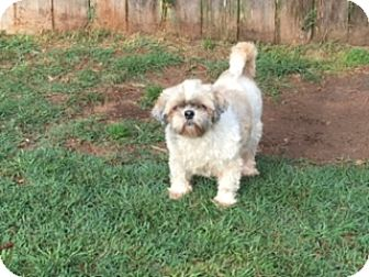 Shih Tzu Mix Dog for adoption in San Antonio, Texas - Puddin