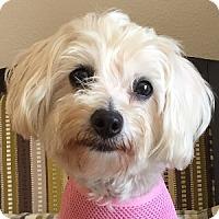 Adopt A Pet :: Cha Cha - La Costa, CA