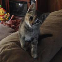 Domestic Shorthair/Domestic Shorthair Mix Cat for adoption in Oswego, New York - Allie Ives