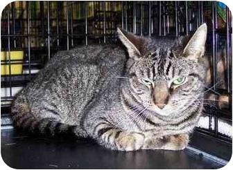 Domestic Shorthair Cat for adoption in Stafford, Virginia - Sarafin