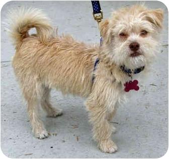 Tibetan Terrier Mix Puppy for adoption in Los Angeles, California - Beckett