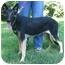 Photo 3 - German Shepherd Dog Puppy for adoption in Nesbit, Mississippi - Misty