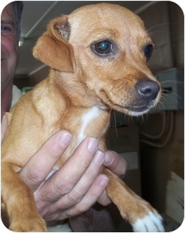 Dachshund/Chihuahua Mix Dog for adoption in Gaffney, South Carolina - French Fry