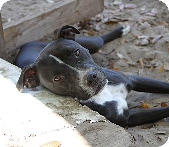 American Pit Bull Terrier Mix Dog for adoption in Weeki Wachee, Florida - BILLYBOB