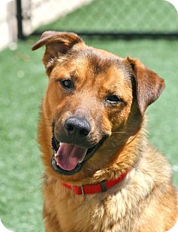 Labrador Retriever/Shepherd (Unknown Type) Mix Dog for adoption in Coronado, California - Alexander