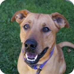 Labrador Retriever Mix Dog for adoption in Eatontown, New Jersey - Red Rover