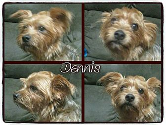 Yorkie, Yorkshire Terrier Mix Dog for adoption in Crowley, Louisiana - Dennis