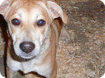 German Shepherd Dog/Beagle Mix Dog for adoption in Liberty Center, Ohio - Cookie
