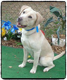 Labrador Retriever Mix Dog for adoption in Marietta, Georgia - TRISTAN