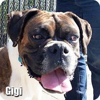 Boxer Dog for adoption in Encino, California - Gigi