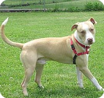 American Pit Bull Terrier Mix Dog for adoption in Janesville, Wisconsin - Joey