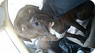 Rottweiler/Mastiff Mix Dog for adoption in Brooklyn, New York - Reeses Pieces