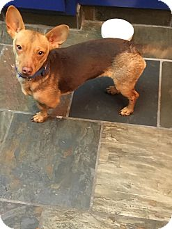 Dachshund/Rat Terrier Mix Dog for adoption in Lodi, California - Noel
