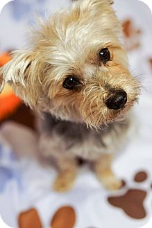 Yorkie, Yorkshire Terrier Dog for adoption in Red Lion, Pennsylvania - Scarlet