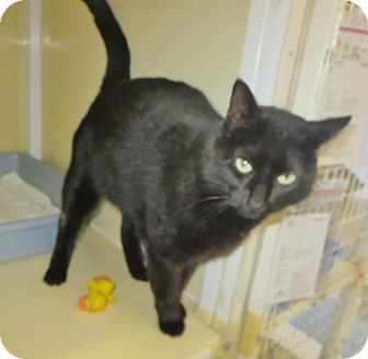 Domestic Shorthair Cat for adoption in Elizabeth City, North Carolina - Dee  SOS