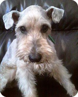 Miniature Schnauzer Dog for adoption in Winter Haven, Florida - Bently