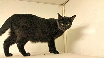 Domestic Shorthair Cat for adoption in Indianola, Iowa - Mullen
